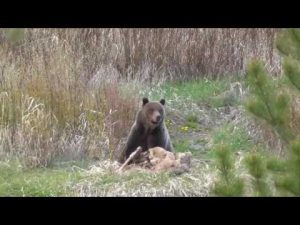 Pahaska Grizzly