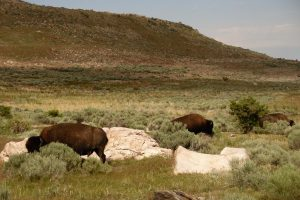 bison in our camp