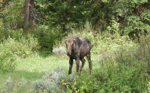 Young Female Moose