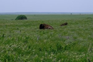 bison in the field